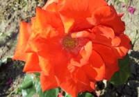 rose-1445877-2-m