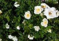roses-growing-1445896-m