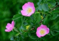 wild-rose-1445825-m